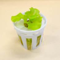 アイティプランターで使う水耕栽培の苗